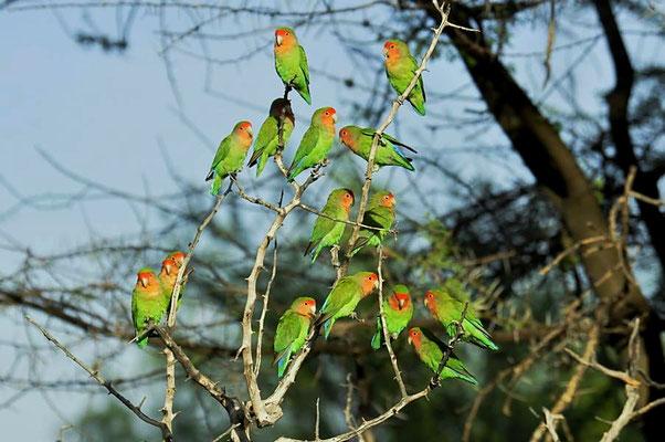 Das Rosenköpfchen (Agapornis roseicollis) bewohnt in kleinen Gruppen von 5 bis 20 Vögeln die afrikanischen Trockengebiete.