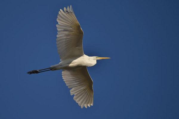 Silberreiher (Ardea alba) fliegt über die Linumer Fischteiche.