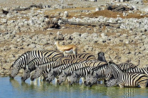 Damara-Zebras (Equus quagga burchellii) an der Tränke.