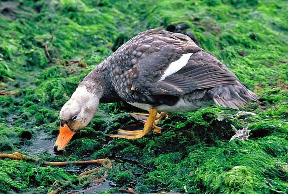 Die Falkland-Dampfschiffente (Tachyeres brachypterus) ist eine flugunfähige Vogelart aus der Familie der Entenvögel (Anatidae) und gehört hier zur Unterfamilie der Halbgänse (Tadorninae).