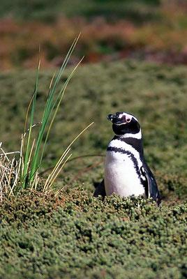 Der Magellanpinguin (Spheniscus magellanicus) kommt an den felsigen Küsten der Falklandinseln, in Chile, Argentinien und Uruguay vor.