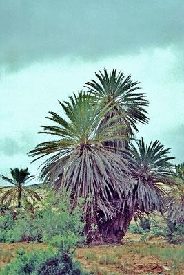 Die Echte Dattelpalme (Phoenix dactylifera) ist eine alte orientalische Kulturpflanze, deren menschliche Nutzung sich bis Mesopotamien zurückverfolgen lässt.