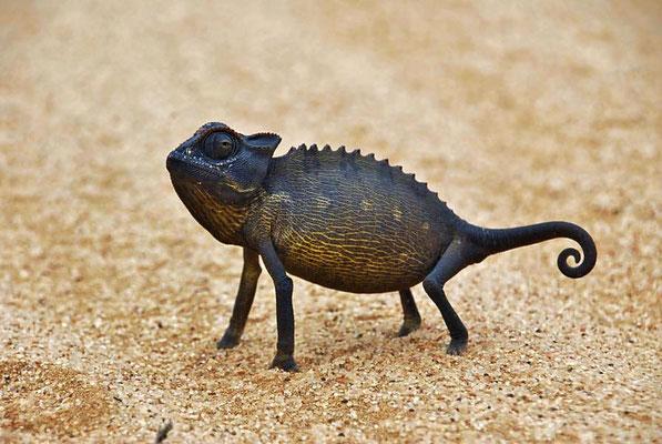 Namaqua Chamäleons (Chamaeleo namaquensis) sind keine Baumbewohner. Sie leben auf dem Wüstenboden.