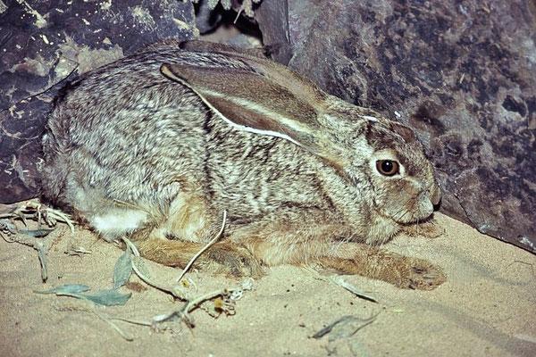 Der Kaphase (Lepus capensis) ist über große Teile Afrikas, mit Ausnahme der Waldgebiete Westafrikas, verbreitet.