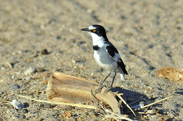 Der Drosselwürger (Lanitturdus torquatus) lebt endemisch in Namibia.