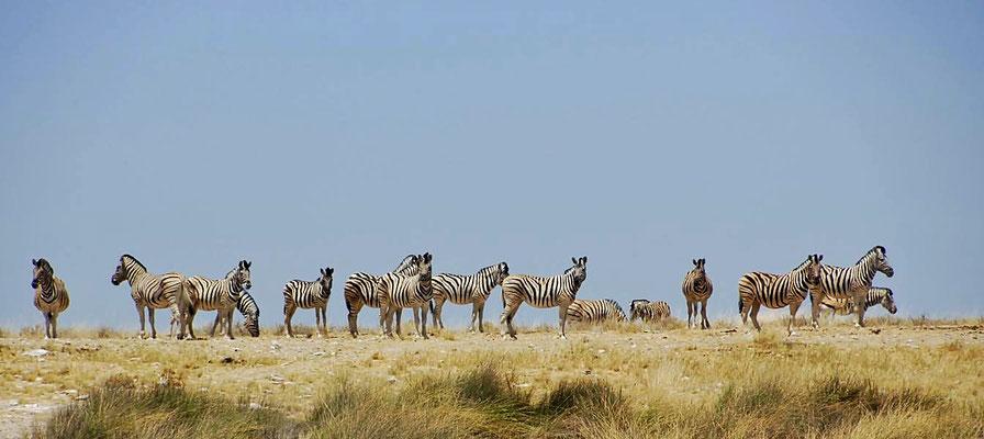Damara-Zebras (Equus quagga burchellii) ist eine Unterart und zählt zur Art Steppenzebra (Equus quagga) und gehört innerhalb der Familie der Pferde (Equidae) zur Gattung Equus.