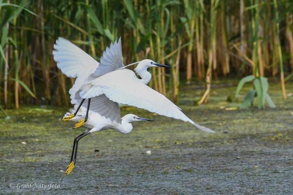 Seidenreiher (Egretta garzetta) fliegen auf.