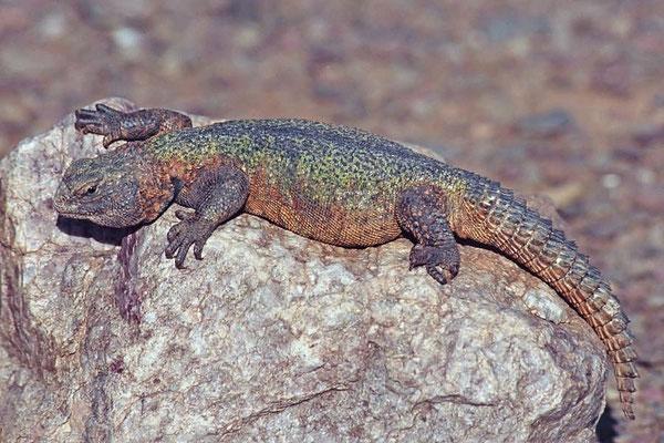 Der Marokkanische Dornschwanz (Uromastyx nigriventris) ist ein Meister der Überlebenskunst in der Wüste.