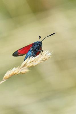 Sechsfleckwidderchen (Zygaena filipendulae)