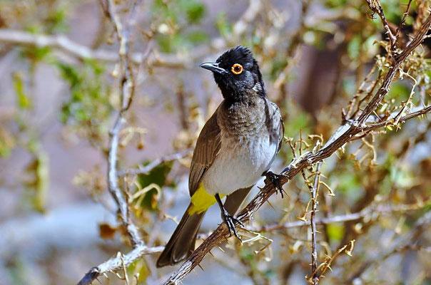 Maskenbülbül (Pycnonotus nigricans), die Bülbüls oder Haarvögel (Pycnonotidae) sind eine Familie der Sperlingsvögel (Passeriformes).