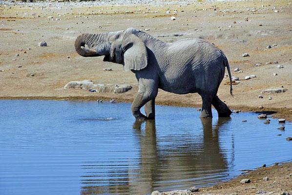 Afrikanischer Elefantenbulle (Loxodonta africana) an der Tränke. Extrem wichtig für Elefanten ist Wasser, von dem sie täglich bis 300 Liter benötigen.
