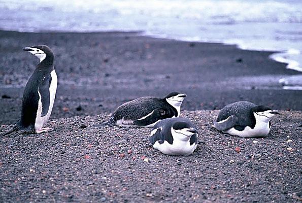 Zügelpinguine (Pygoscelis antarctica), ihre Hauptnahrung bildet der Krill und einige kleinere Fischarten.