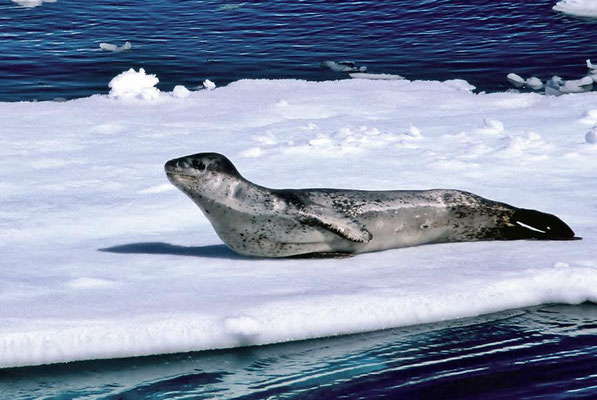 Seeleopard (Hydrurga leptonyx) auf treibender Eisscholle.