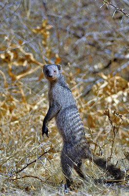 Die Zebramanguste (Mungos mungo) ist in weiten Teilen Afrikas südlich der Sahara verbreitet und durch ihre Rückenstreifen leicht zu erkennen.