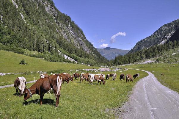 Pinzgauer Rinder ( Bos primigenius f. taurus ) im Habachtal - Salzburgerland  / Österreich