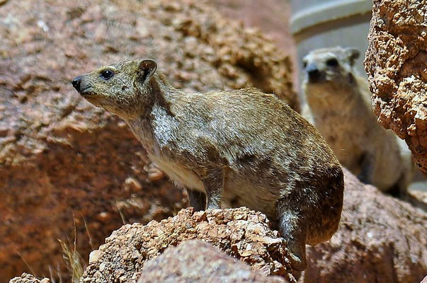 Der Klippschliefer (Procavia capensis) bewohnt Felsspalten und Höhlen und tritt vorwiegend tagsüber auf. Als Nahrung dienen Pflanzen.