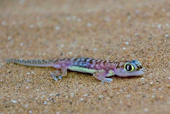 Der Namibgecko oder Sandgecko (Pachydactylus rangei) kommt endemisch in der Wüste Namib vor.