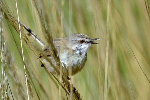 Die Brustbandprinie (Prinia flavicans) kommt in Namibia bis Botswana und Nordwest-Südafrika vor.