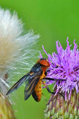 Raupenfliege (Phasia hemiptera)