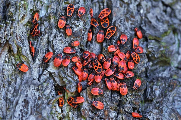 Feuerwanzen (Pyrrhocoris apterus) - Wanzen und Larven