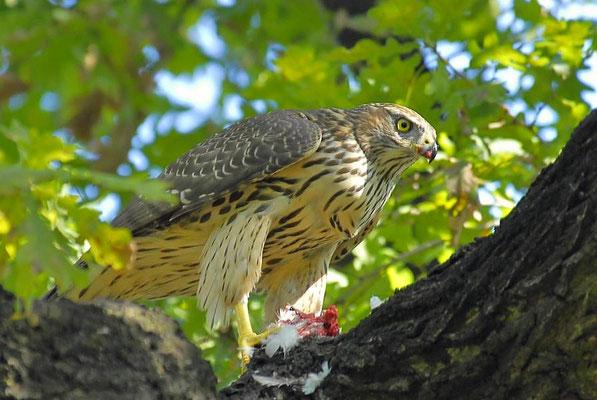 Junger Habicht (Accipiter gentilis) beim Fressen einer Taube, Berlin-Tiergarten
