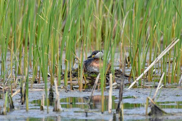 Das Nest der Rothalstaucher (Podiceps grisegena) liegt gut versteckt im Schilf.