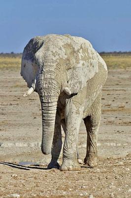 Ein Afrikanischer Elefantenbulle (Loxodonta africana) wird durchschnittlich 3,20 Meter hoch und 5 Tonnen schwer.