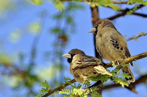 Siedelweber (Philetairus socius) sind Sperlings ähnliche, bis zu 14 cm große Webervögel.