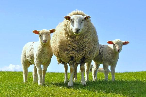 Anreise zur Hallig Hooge durch den Hauke-Hain-Koog - Schafe auf dem Deich