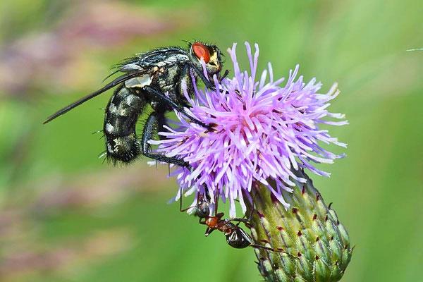 Graue Fleischfliege (Sarcophaga carnaria) mit Ameise
