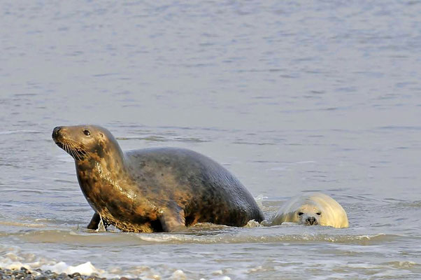 Mutter mit Jungtier am Nordstrand