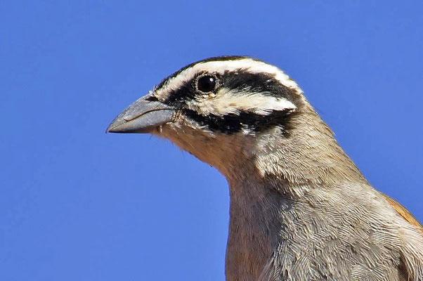Die Kapammer (Emberiza capensis) findet man im südlichen Afrika, vom südwestlichen Angola, östlichen Sambia, Simbabwe und vom südlichen Tansania bis ans Kap.