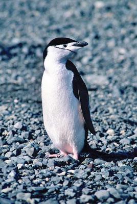 Der Zügelpinguin (Pygoscelis antarctica) wird auch Kehlstreifenpinguin genannt.