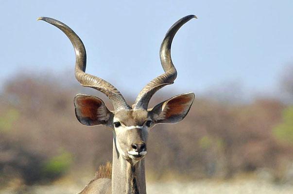 Großer Kudu (Tragelaphus strepsiceros). Die Böcke verfügen über imposante Hörner, die schraubenartig nach innen gedreht sind.