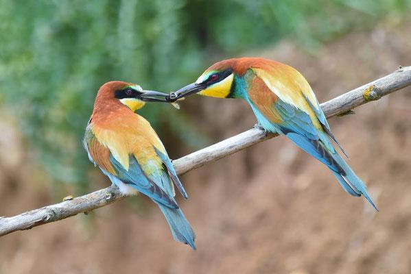 Bienenfresser (Merops apiaster) beim Füttern der Partnerin