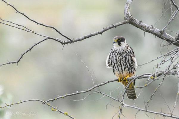 Baumfalke (Falco subbuteo) bei Vadu.