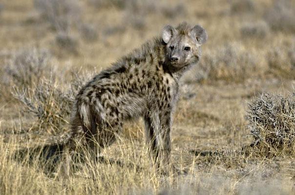 Tüpfelhyäne (Crocuta crocuta), juvenil. Hyänen bringen ihre Jungtiere in unterirdischen Bauen zur Welt.