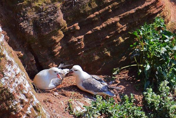 Eissturmvögel (Fulmarus glacialis)