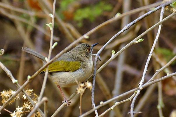 Graurücken Bogenflügel oder Graurücken Camaroptera (Camaroptera brevicaudata) gehören in die Gruppe der Halmsängerartigen.