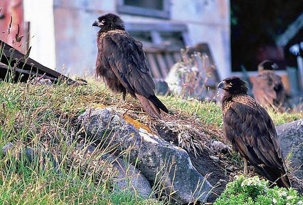 Der Falklandkarakara (Phalcoboenus australis) ist eine Art der Geierfalken (Polyborinae) und zählt zu den Falkenartigen (Falconidae).