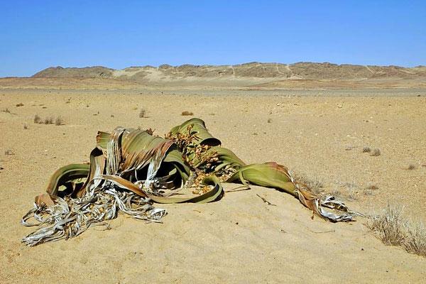 Welwitschia mirabelis ist eine der berühmtesten Pflanzen Namibias. Sie gilt als ein sogenanntes lebendes Fossil und wird ca. 1000 Jahre alt.
