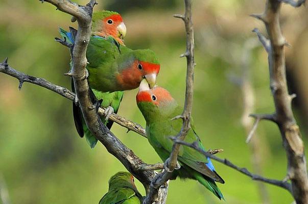"""Rosenköpfchen (Agapornis roseicollis) füttert Partner. Im Englischen werden sie """"Lovebirds"""" genannt."""
