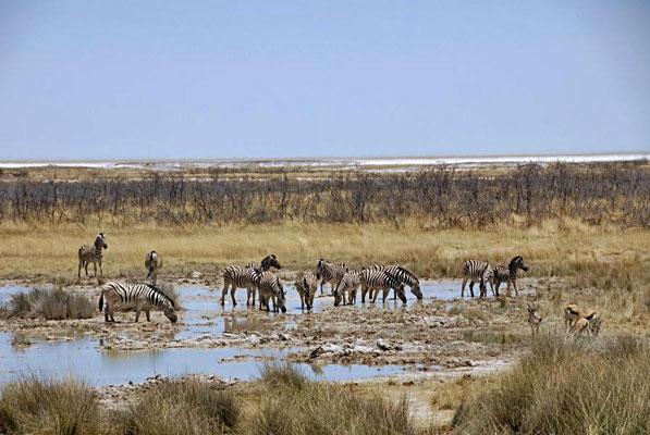 Damara-Zebras (Equus quagga burchellii), Steppenzebras leben überwiegend in den weiten Savannen und Halbwüsten von Namibia, Südafrika und Angola.
