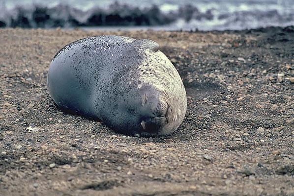Die Weddellrobbe (Leptonychotes weddellii) ist eine der häufigsten Robben der Antarktis. Benannt ist sie nach ihrem Entdecker, dem englischen Seefahrer und Robbenjäger James Weddell.