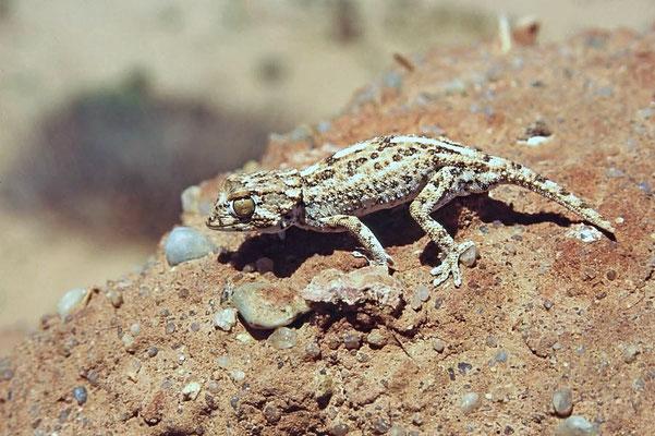 Der Helmkopfgecko (Tarentola chazaliae) gehört zur Familie der Blattfingergeckos.