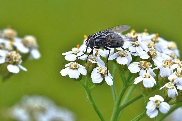Gefleckte Hausfliege (Graphomyia maculata) - weibl.