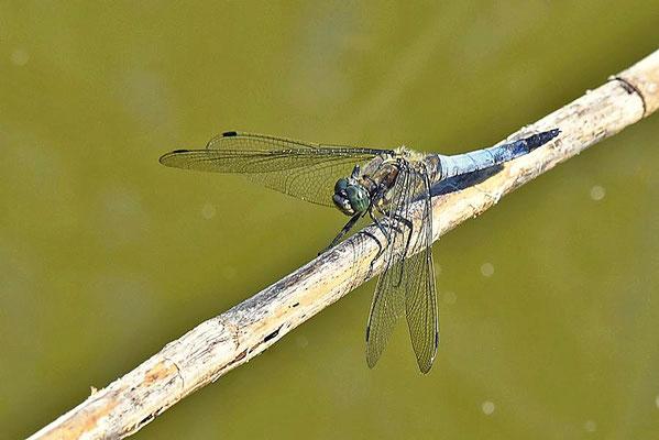 Großer Blaupfeil (Orthetrum cancellatum)
