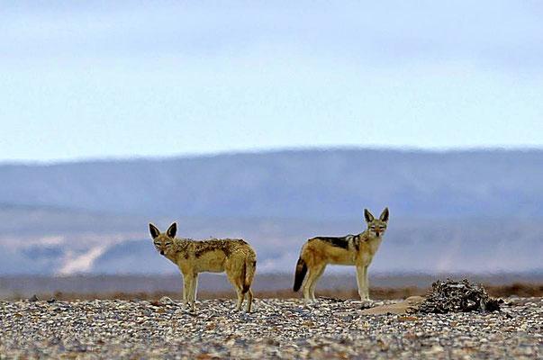 Schabrackenschakale (Canis mesomelas) sind Wildhunde der afrikanischen Savanne und der in Afrika am häufigsten vorkommende Schakal.