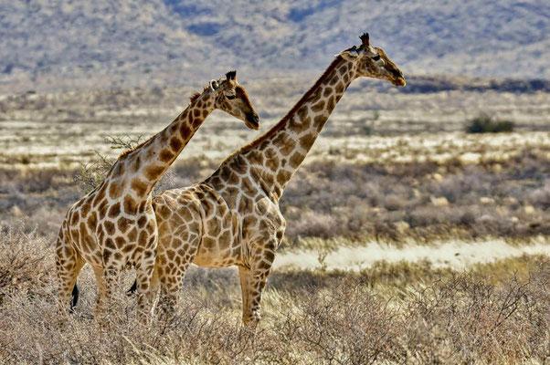 Angola-Giraffen (Giraffa camelopardalis angolensis).