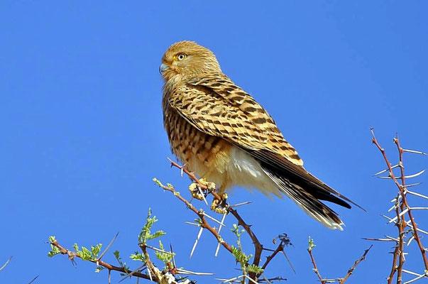 Der Steppenfalke (Falco rupicoloides) ist ein in Afrika beheimateter, dem Turmfalken ähnlicher Greifvogel aus der Familie der Falkenartigen (Falconidae).